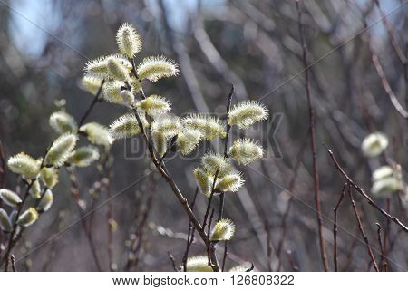 Catkins on the branches of a Pussy willow tree (Salix discolor) early in the spring season.
