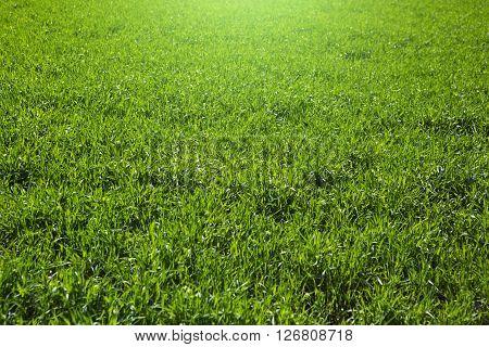 Green grass on green background. Fresh grass.