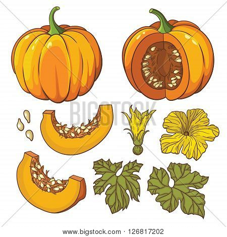 Vector botanical set with isolated pumpkins, flowers and leaves