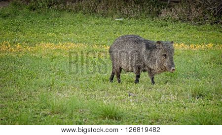 Wild Javelina eats grass in Big Bend National Park Texas