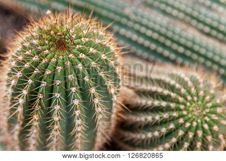 Close up of green cactuses with yellow prickles