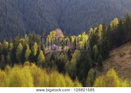 Spring landscape of an abandoned house in the fir trees forest