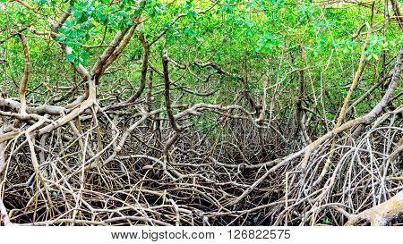 Green mangroves swamp jungle dense vegetation forest in Tobago Caribbean