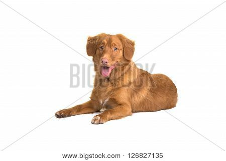 Pretty Nova Scotia duck tolling retriever lying down isolated on a white background