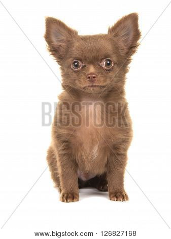 Cute brown sitting chihuahua puppy isolated on a white background