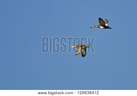 Pair of Gadwall Flying in a Blue Sky