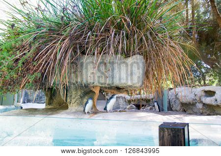 PERTH,WA,AUSTRALIA-MARCH 20,2016: Little Blue Penguins in outdoor enclosure at the Perth Zoo in Perth, Western Australia.