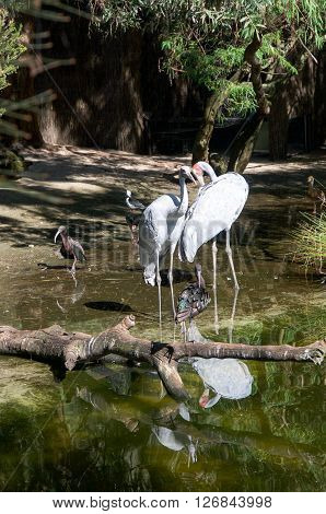 PERTH,WA,AUSTRALIA-MARCH 20,2016: Large Brolga, or cranes, in wetland enclosure at the Perth Zoo in Perth, Western Australia.