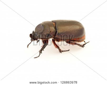 Female rhinoceros beetle Rhino beetle Hercules beetle Unicorn beetle Horn beetle stag Beetle isolated on white background.