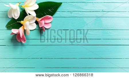Background with white and pink tropical plumeria flowers on turquoise wooden background. Selective focos. Place for text. Toned image.