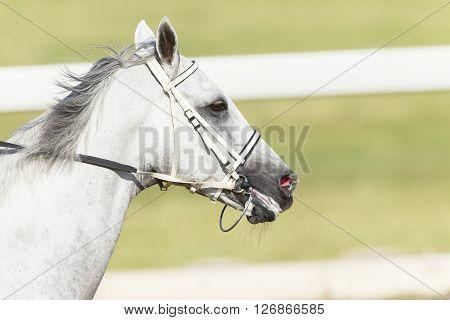 Horse Racing Head