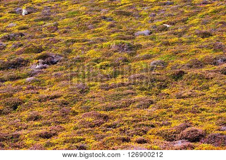 Yellow Gorse And Heather Moorland Texture In Autumn Brittany, France