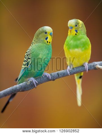 Pair of parakeets perched on bare branch against brown background