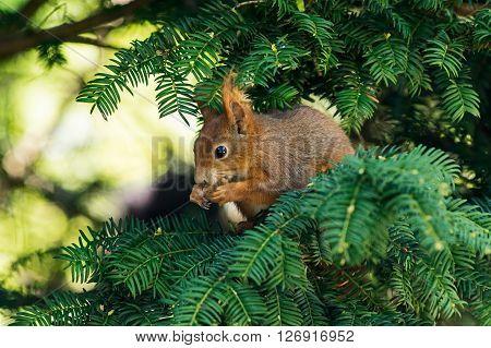 A red Squirrel on a fir branch