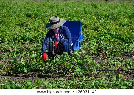 KERN COUNTY, CA - APRIL 23, 2016: An unidentified Mexican-American field hand sets up in the early morning hours for a day of pruning and culling grape plants in a San Joaquin Valley vineyard.