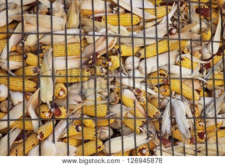 Close up image of the wire housing construction of this corn crib.  Cobs of corn fill this container. Fall harvest in Wisconsin.