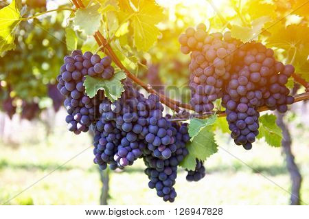 Red grapes with green leaves on the vine. Vine grape fruit plants outdoors by sunset