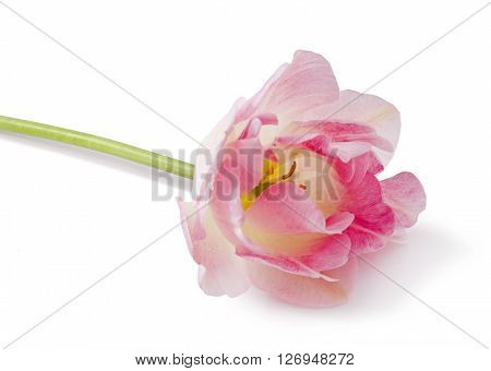 Angelique. Pink Colored Tulip Flower Isolated on White Background