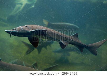 Siberian sturgeon (Acipenser baerii). Wild life animal.