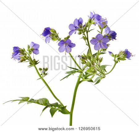 Jacob's Ladder or Greek valerian (Polemonium caeruleum) isolated on white