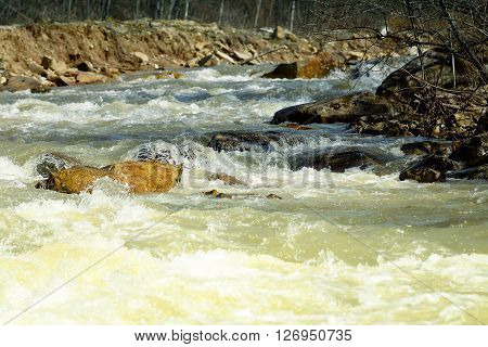 The rapid flow of water during floods in the mountains.