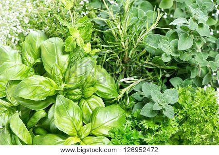 Closeup of fresh herbs. Parsley basil rosemary thyme mint marjoram