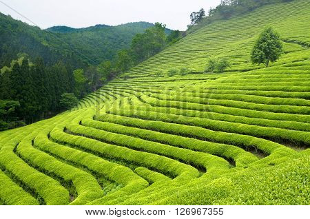 Green tea plantation in South Korea, hills and tea bushes