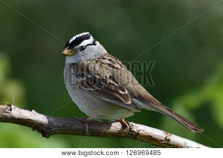 A Mountain Chickadee (Poecile gambeli) on a branch.