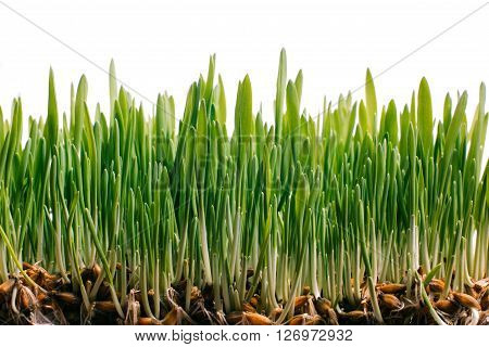Fresh spring green grass and germinated seeds on white background. Green grass, grown from the seed  for banner, advertising. Concept of environmental conservation, growth, spring, healthy eating