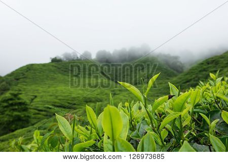Close up of tea leaves in tea plantations at Cameron Highlands Malaysia.