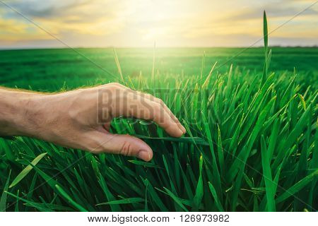 Wheat crop protection concept in agricultural production farmer's hand stroking young green plants in cultivated field in sunset.