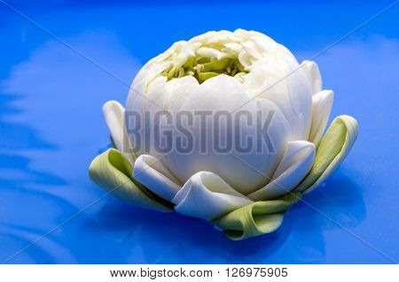 white water lily flower on blue background