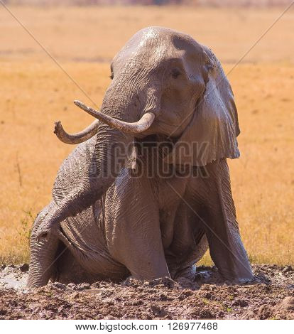 Elephant In A Mud Pool