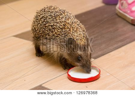 Hedgehog in the hallway drinking milk caps