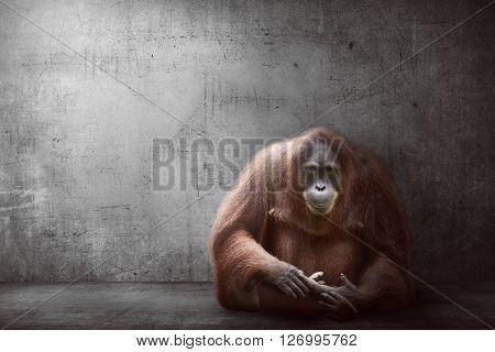 Image Of Orangutan