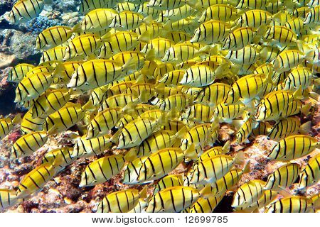 Indian ocean.Fishes in corals. Maldives .