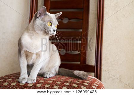 Young female Burmese cat staring at right