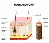 Hair anatomy. The hair shaft grows from the hair follicle consisting of transformed skin tissue. The epidermal cells transform at the command of the dermal papilla cells and generate the hair shaft. poster