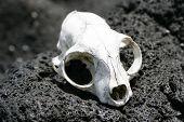 an animal skull bleached by the sun on rangitoto island hauraki gulf new zealand. poster