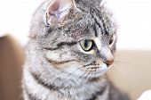 Domestic stripped cat portrait looking away with interest poster