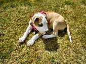 Beautiful clean photo of american pit bull terrier puppy  resting in grass . poster