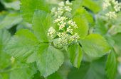 Alexanders (Smyrnium olusatrum) flowers and leaves. Pungent plant in the family Apiaceae with pale green and white flowers poster