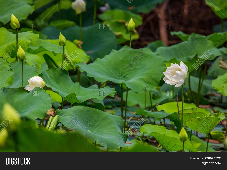 Big White Lotus Flower Lotus Flower Image Photo Bigstock