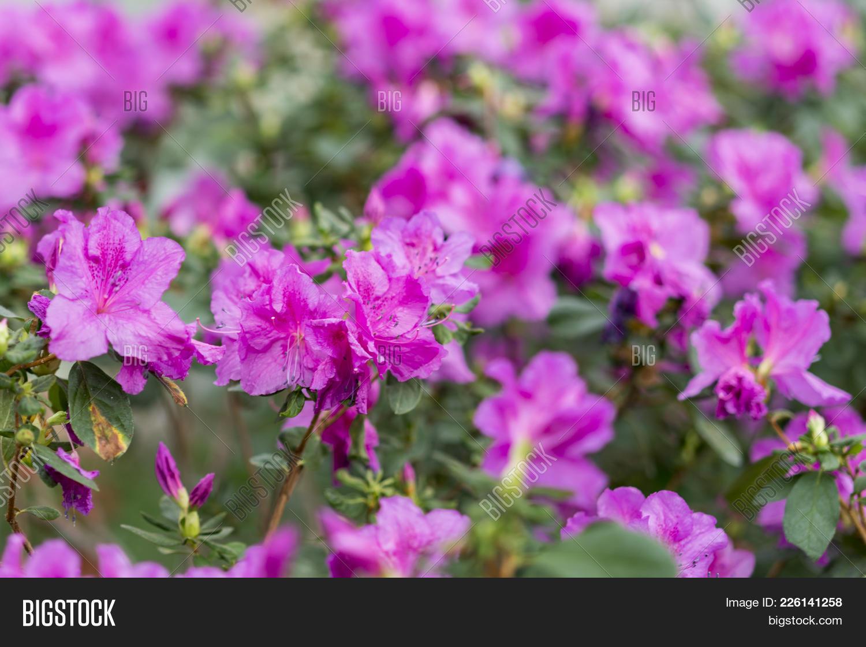 Big Pink Azalea Bush Image Photo Free Trial Bigstock