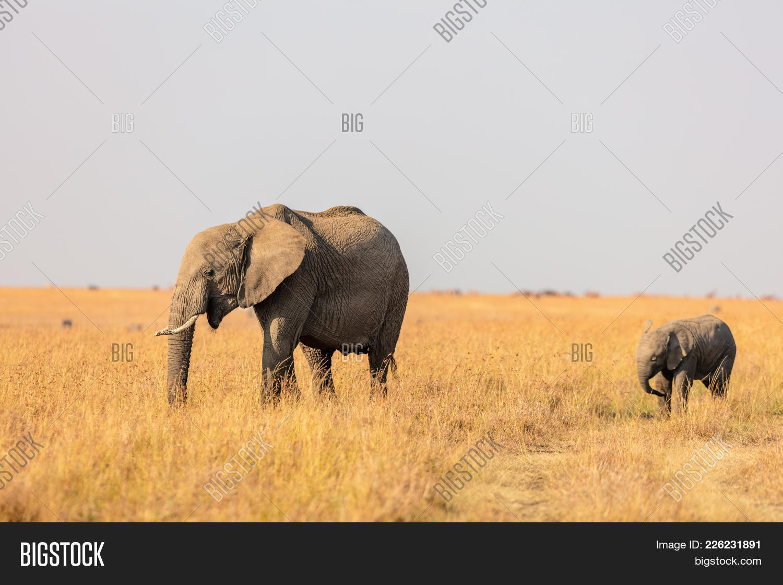 elephants in safari powerpoint template elephants in safari
