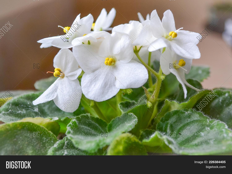 Flower Violet White Image Photo Free Trial Bigstock