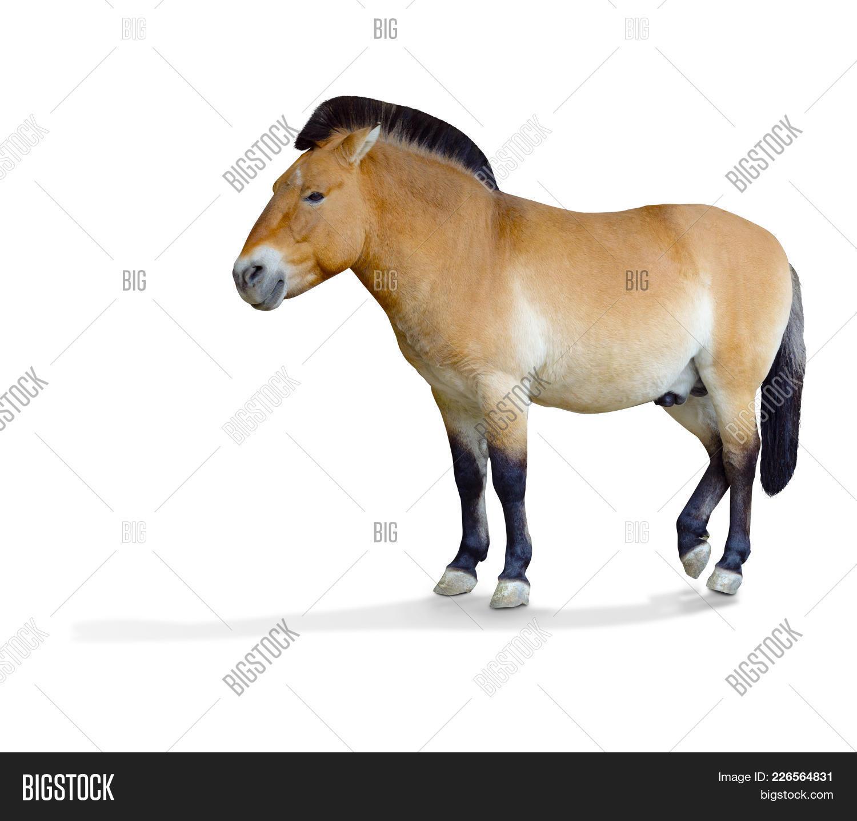 Przewalskis Horse Powerpoint Template Przewalskis Horse Powerpoint