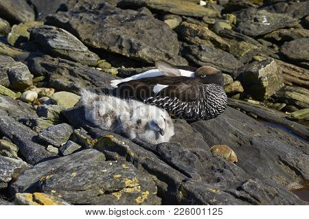 Female Kelp Goose (Chloephaga hybrida malvinarum) with a brood of goslings on the rocky coast of Carcass Island in the Falkland Islands. poster