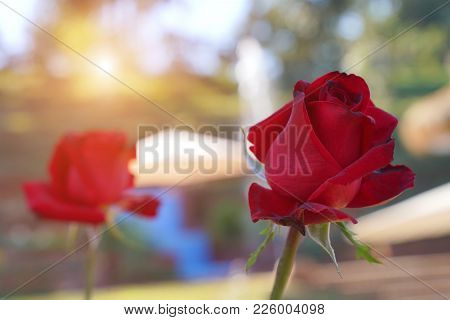 Red Rose, Red Roses Bouquet With Free Space For Text, Red Roses On A Bush In A Garden, Valentine Day