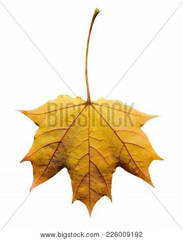 Beautiful Bright Yellow Maple Tree Leaf Isolated On White Background. Maple Tree Leaf Close Up. Back